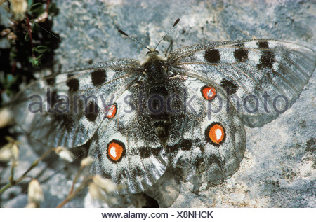 Apollo, Parnassius apollo, France - Stock Photo