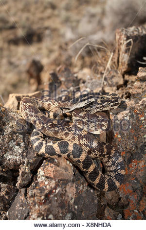 Great Basin Gopher Snake, Pituophis catenifer deserticola, Interior BC, Okanagan, Canada - Stock Photo