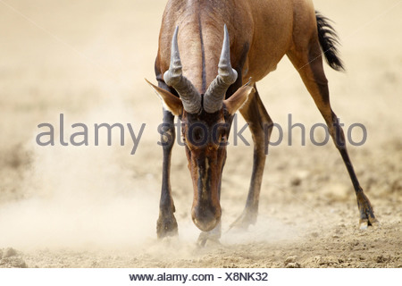 A close-up of a Red Hartebeest ready to charge, Kgalagadi Transfrontier Park, Northern Cape Province, South Africa - Stock Photo