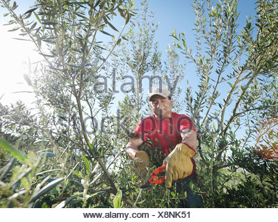 Man pruning olive trees - Stock Photo