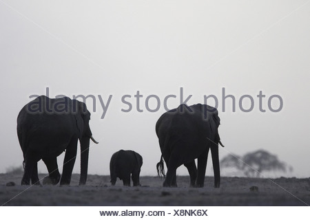African elephant (Loxodonta africana), group in the evening, Kenya, Amboseli National Park - Stock Photo