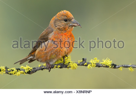 Red crossbill (Loxia curvirostra) on tree branch at Deschutes National Forest, Oregon, USA - Stock Photo