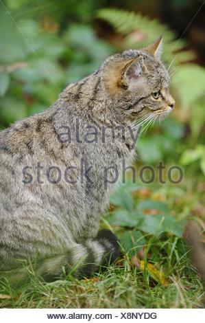 European wildcat, Felis silvestris silvestris, side view, sitting, - Stock Photo