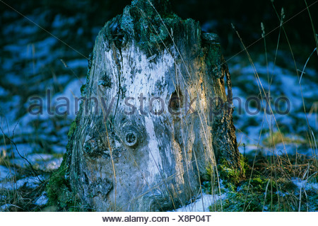 View of moss covered tree stump in forest - Stock Photo