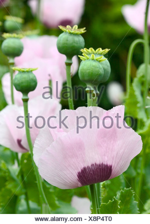 Opium Poppies, Papaver Somniferum flowers and seedheads  shot in a natural environment in late spring/early summer - Stock Photo
