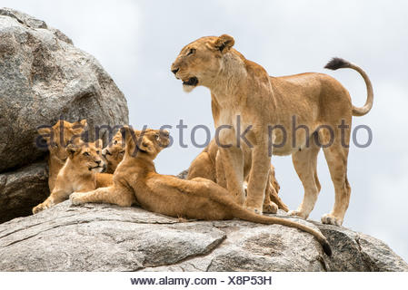 Lioness, Panthera leo, with its cubs on a rock. - Stock Photo