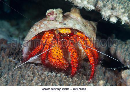 Red hermit crab, Dardanus megistos, ambon, the Moluccas, Indonesia - Stock Photo