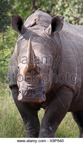 white rhinoceros, south africa - Stock Photo
