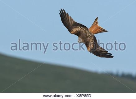 Red Kite Milvus milvus - Stock Photo