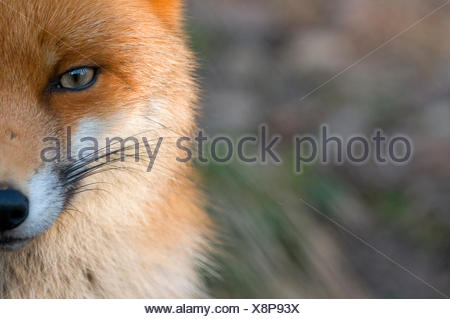 Red fox (Vulpes vulpes) close-up of half of face, captive - Stock Photo