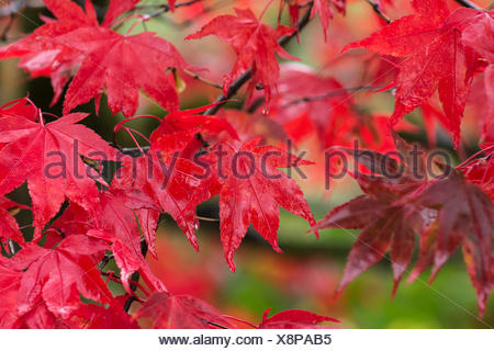 Maple, Japanese maple, Acer palmatum, Bright red autumn leaves wet after rain. - Stock Photo