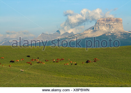 Mixed breed cows and calves grazing on a green foothill pasture with the Canadian Rockies in the background / Alberta, Canada. - Stock Photo