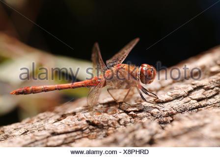 common sympetrum, common darter (Sympetrum striolatum), male, Germany - Stock Photo