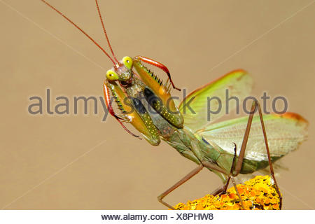 Europaeische Gottesanbeterin (Mantis religiosa), in Drohhaltung, Spanien | European preying mantis (Mantis religiosa), threateni - Stock Photo