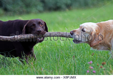 Labrador Retriever (Canis lupus f. familiaris), and Golden Retriever playing with a wood stick - Stock Photo