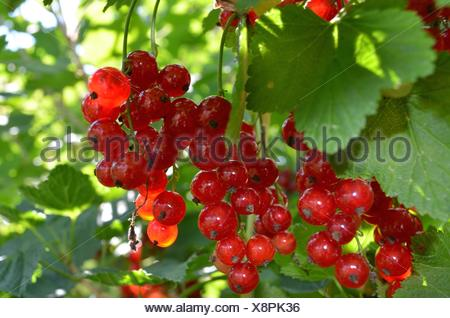vitamin bomb - the red currant - Stock Photo