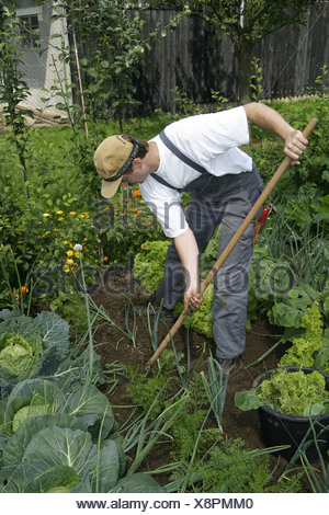 Gardener works in an ecological country garden, growing of vegetables in the own garden - Stock Photo