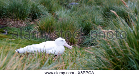 Wandering albatross Diomedea exulans on nest Prion Island Bay Isles South Georgia Island - Stock Photo