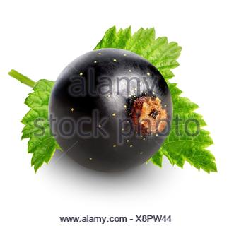 Berry of black currant isolated on white. - Stock Photo