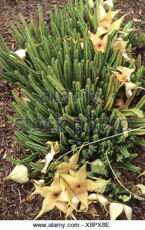 Stapelia (Stapelia spec.), plant with flowers, Palmetum - Stock Photo