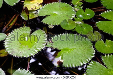 Germany, Bavaria, Wuerzburg, View of water lily in botanical garden Stock Photo