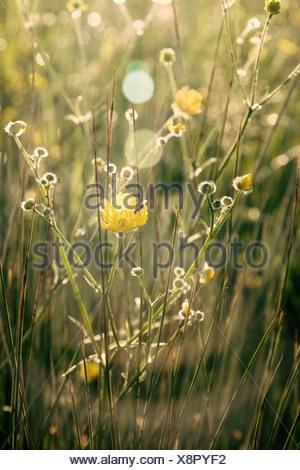 Ranunculus acris, Buttercup, Yellow flower subject, - Stock Photo