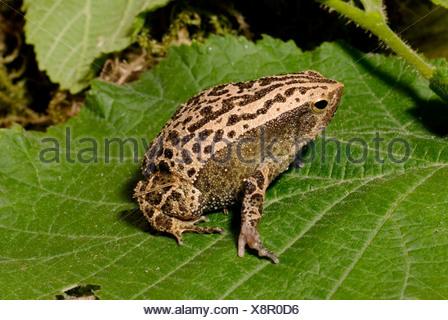 Black-Spotted Narrow-Mouthed Frog, Black-spotted Sticky Frog (Kalophrynus pleurostigma), on a leaf - Stock Photo