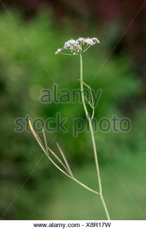 PARSLEY WATER-DROPWORT Oenanthe lachenalii (Apiaceae) - Stock Photo