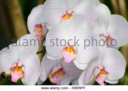 Panicle of white orchid flowers (Phalaenopsis), hybrid - Stock Photo