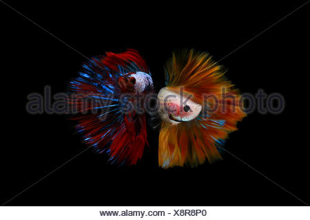 Two multi coloured betta fish - Stock Photo