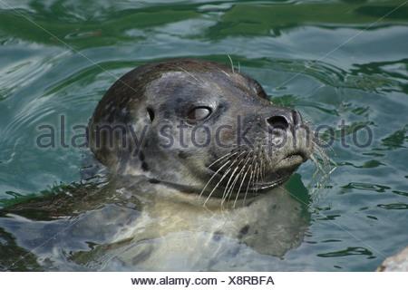 Common seal (Phoca vitulina) swimming in water. - Stock Photo