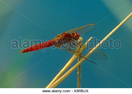 Broad Scarlet, Common Scarlet-darter, Scarlet Darter, Scarlet Dragonfly (Crocothemis erythraea, Croccothemis erythraea), male, Germany - Stock Photo