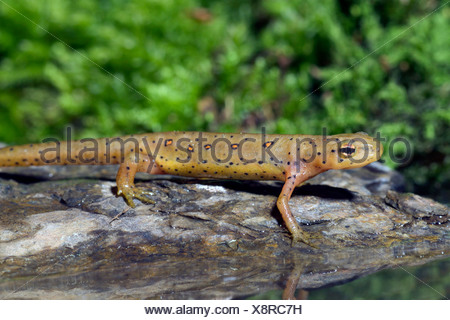 eft, red-spotted newt, red eft, eastern newt (Notophthalmus viridescens), on a stone