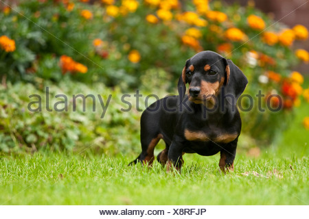 Short-haired dachshund puppy standing on a meadow - Stock Photo