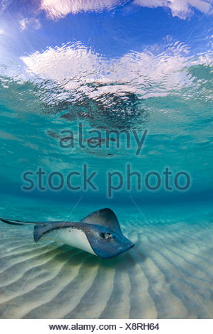 Southern stingray (Dasyatis americana) swimming over ripples on sandbar, Grand Cayman, Cayman Islands. - Stock Photo