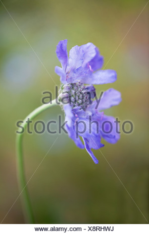 Single flower of Scabiosa columbaria Butterfly blue with delicate pale blue petals surrounding pincushion-like centre. - Stock Photo