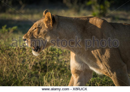Close-up of lioness staring in golden light - Stock Photo