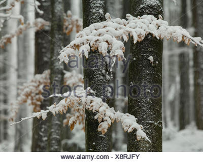 Winter forest, Bavarian Forest, Bavaria, Germany, - Stock Photo
