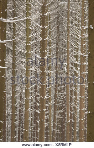 snow spruces forest - Stock Photo