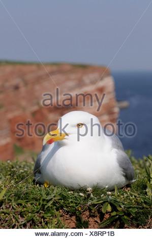 herring gull (Larus argentatus), breeding on steep coast, Germany, Heligoland - Stock Photo