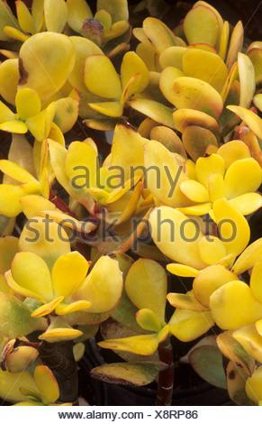 Crassula ovata 'Hummel's Sunset', syn. C. argentea, succulent, succulents yellow foliage leaf leaves garden plant plants - Stock Photo