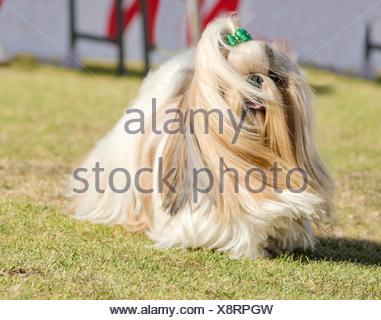 Small Light Brown Fluffy Dog