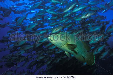 Napoleon Humpback Wrasse an Red Reef Snapper, Cheilinus undulatus, Lutjanus bohar, Ras Mohammed, Sinai, Red Sea, Egypt - Stock Photo