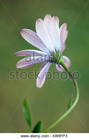 African daisy, Osteospermum 'Serenity purple', Back view of one opening flower with raindrops on a curved stem. - Stock Photo