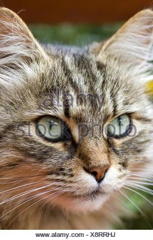 Siberian Forest Cat, Siberian cat, Siberian (Felis silvestris f. catus), portrait - Stock Photo