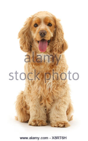 Golden Cocker spaniel dog, Henry, age 3 years, sitting and panting. - Stock Photo
