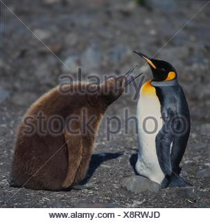 king penguin (Aptenodytes patagonicus), begging juvenile with adult, Antarctica, Suedgeorgien - Stock Photo