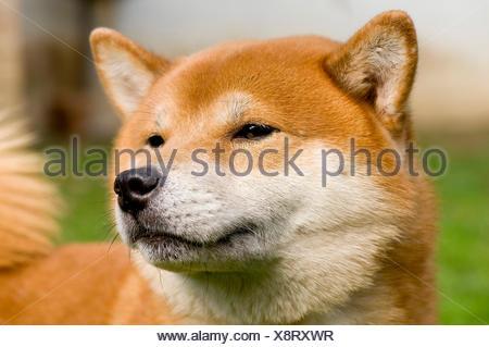 Shiba Inu, dog breed, portrait - Stock Photo