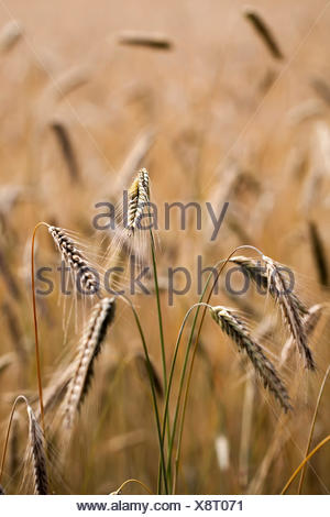 rye - ears of corn in a close-ups - Stock Photo