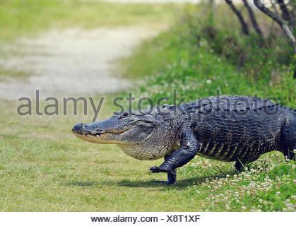 Large Florida Alligator Walking on a Trail - Stock Photo